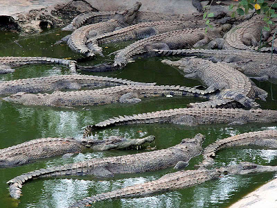 Crocodile Farming at Davao Crocodile Park